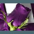 darkpurpleorchid2