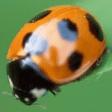 Beetle52